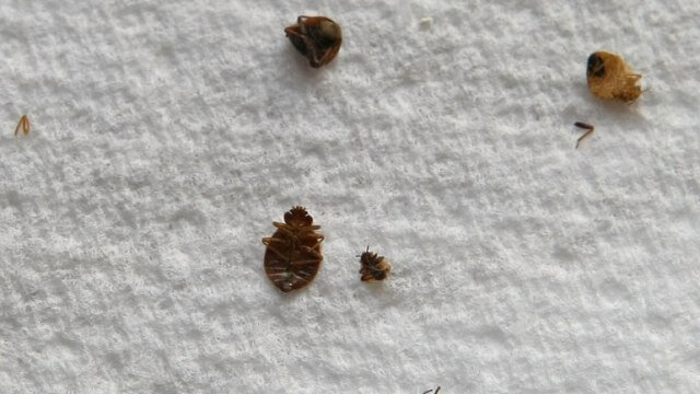 Get Rid Of Bed Bugs1