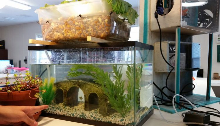 aquaponics fish tank with bacteria growth on the sides
