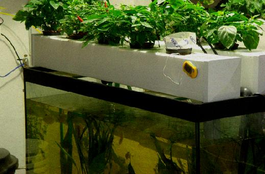 aquaponics fish tank with bacteria growth on the sides1