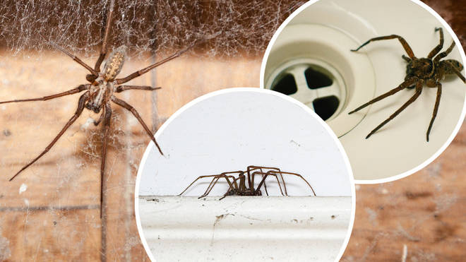 Spiders enter homes to find a mate