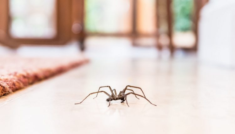 Spiders into your Home